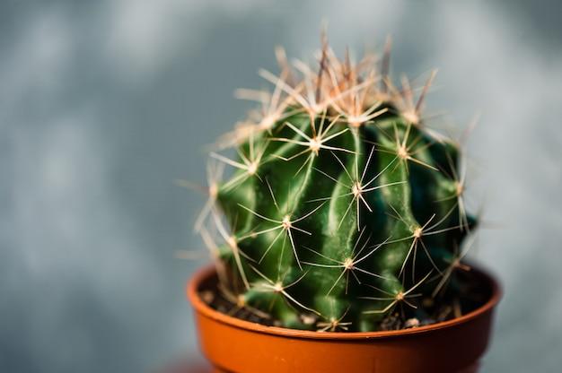 Kleiner schöner grüner kaktus in der braunen topfnahaufnahme