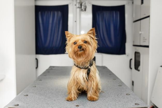 Kleiner spaß doggy yorkshire terrier, der auf manipulationstabelle im haustierkrankenwagen aufwirft