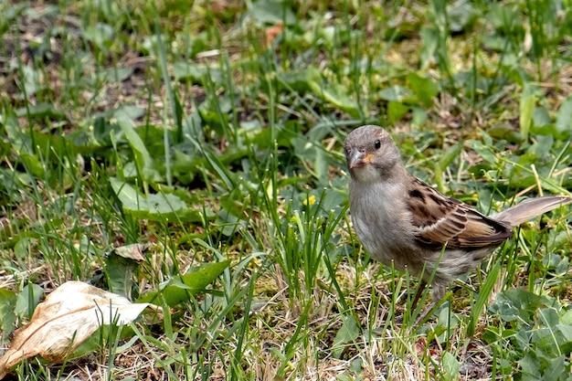 Kleiner spatz im sommer im gras auf nahrungssuche 1