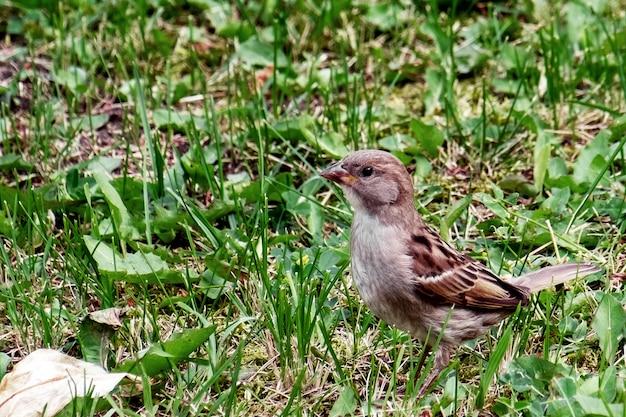 Kleiner spatz im sommer im gras auf nahrungssuche