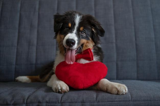 Kleiner süßer australischer schäferhund mit drei farben mit großem herzen in roter fliege. valentinstag. alles gute zum geburtstag. liegen auf der sofacouch. foto in hoher qualität