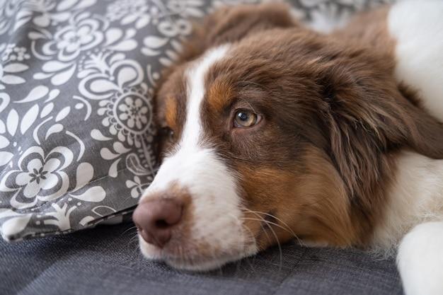 Kleiner süßer australischer schäferhund roter dreifarbiger hündchen. auf sofa couch liegen. tierpflege und freundliches konzept.
