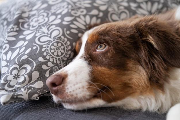 Kleiner süßer australischer schäferhund roter dreifarbiger hündchen. aufschauen. auf sofa couch liegen. grüne augen.