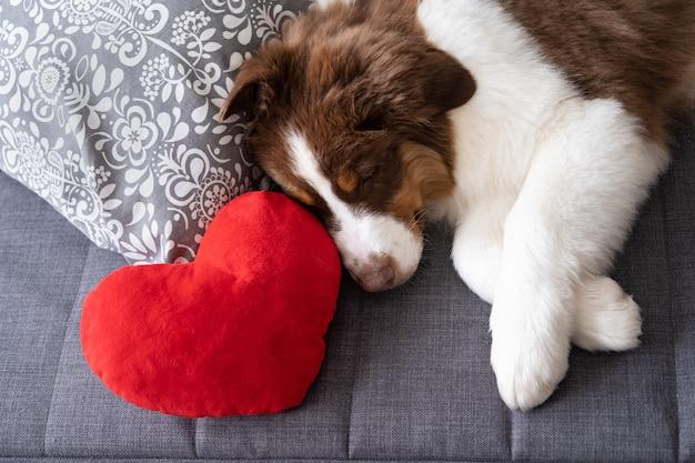 Kleiner süßer australischer schäferhund roter dreifarbiger hündchen mit großem herzen. valentinstag. auf sofa couch liegen. grüne augen.