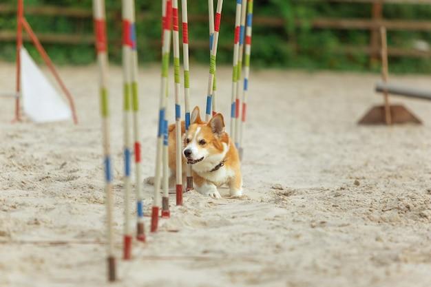 Kleiner süßer corgi-hund, der während der show im wettbewerb auftritt. haustiersport. jungtiertraining vor der durchführung. sieht glücklich und zielstrebig aus.