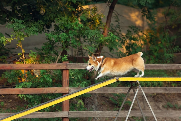 Kleiner süßer hund, der während der show im wettbewerb auftritt