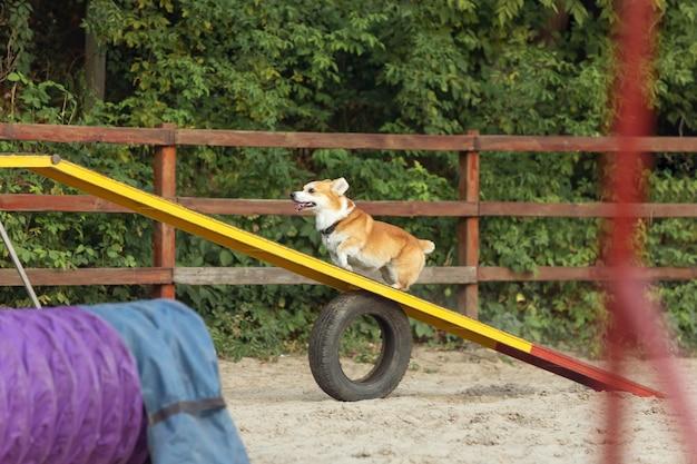 Kleiner süßer hund, der während der show im wettbewerb auftritt.