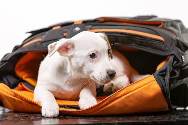 Kleiner süßer hund sitzt in einer schwarzen tasche und freut sich - jack russell terrier.
