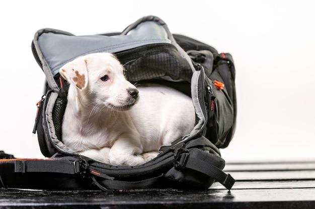 Kleiner süßer hund sitzt in einer schwarzen tasche und freut sich - jack russell terrier