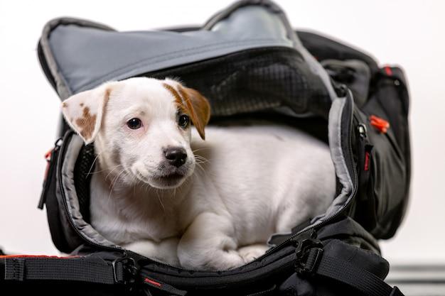 Kleiner süßer hund sitzt in einer schwarzen tasche und freut sich