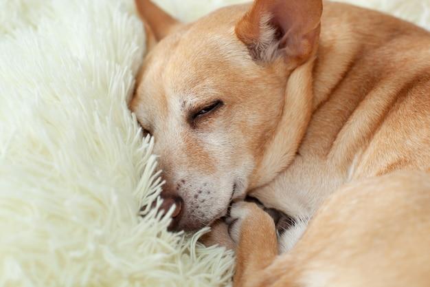 Kleiner süßer müder chihuahua-hund, der auf bett schläft