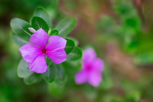 Kleiner tropischer lila oder rosa blütenkopf, der auf stiel mit grünen blättern und unscharfem hintergrund wächst