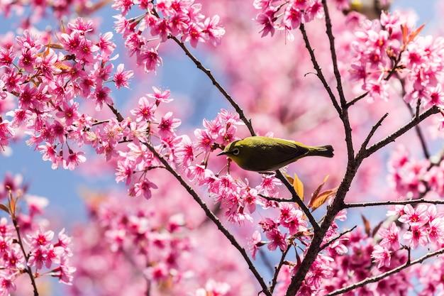 Kleiner vogel auf wildem himalajakirschbaum