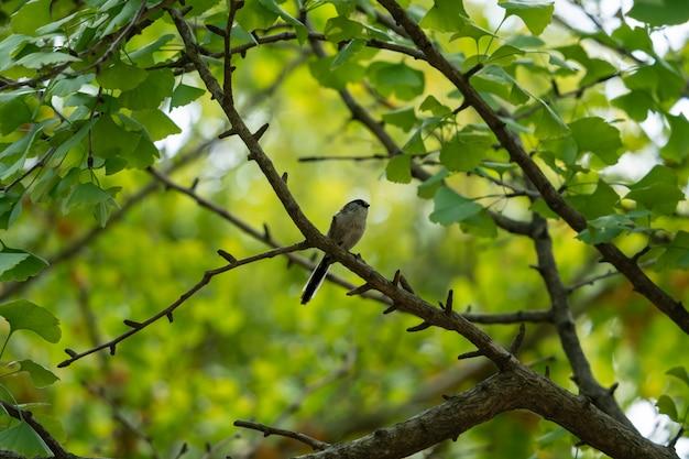 Kleiner vogel des ginkgowaldes