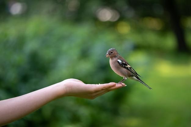 Kleiner vogelfink, der nuss von weiblicher hand im park isst