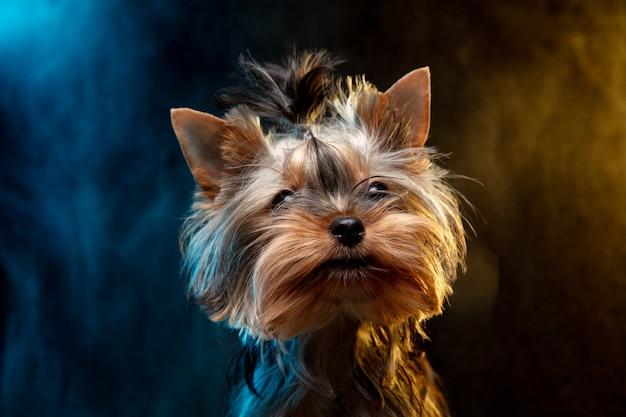 Kleiner yorkshire-terrierhund posiert. nettes verspieltes hündchen oder haustier einzeln auf neonfarbenem hintergrund in rauchwolke. konzept der bewegung, bewegung, haustiere lieben. sieht glücklich, erfreut, lustig aus.