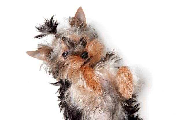 Kleiner yorkshire-terrierhund spielt. nettes spielerisches hündchen oder haustier lokalisiert auf weißem studiohintergrund. konzept der bewegung, bewegung, haustiere lieben. sieht glücklich, erfreut, lustig aus. exemplar für anzeige.