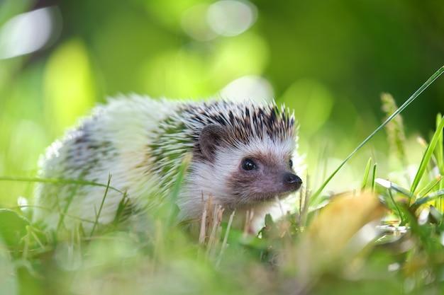 Kleines afrikanisches igelhaustier auf grünem gras im freien am sommertag. halten von haustieren und pflege von haustieren konzept.