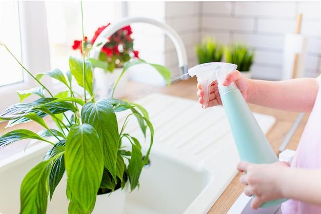 Kleines blondes mädchen, das sprühflasche mit wasser hält, wässert grüne pflanze zu hause, hilft seiner mutter über haus. kind studiert pflanze aufmerksam