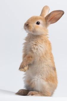 Kleines braunes kaninchen, das auf lokalisiertem weißem hintergrund am studio steht.