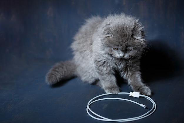 Kleines britisches faltkätzchen spielt mit einem kabel, um das telefon aufzuladen