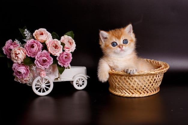 Kleines britisches goldenes chinchilla-kätzchen, das in einem korb neben blumen sitzt
