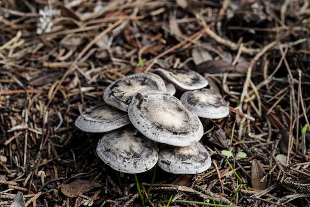 Kleines büschel von lyophyllum littorina-pilzen