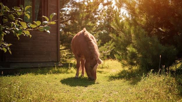 Kleines charmantes hellbraunes ponypferd kneift grünes gras im freien gartenhof nahe lodge in a