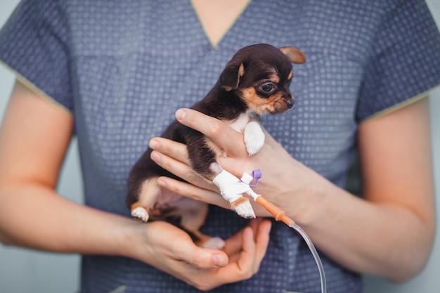 Kleines chihuahuahündchen mit einem tropfenzähler in den händen eines tierarztes