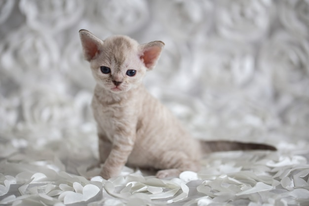 Kleines devonrex-kätzchen, das auf einem leichten plaid sitzt
