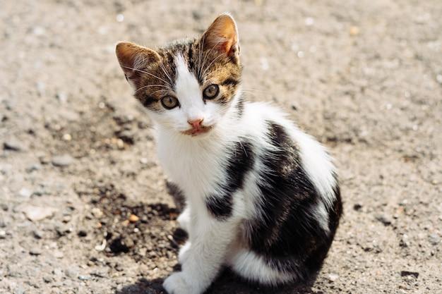 Kleines dreifarbiges kätzchen, das mit interesse der kamera nach einem köstlichen abendessen betrachtet