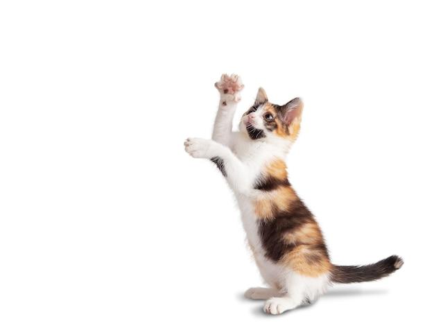 Kleines dreifarbiges kätzchen mit einer schüssel auf weißem hintergrund isolieren