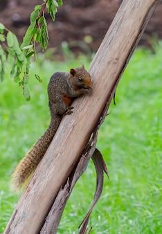 Kleines eichhörnchen, das lebensmittel auf einer niederlassung isst