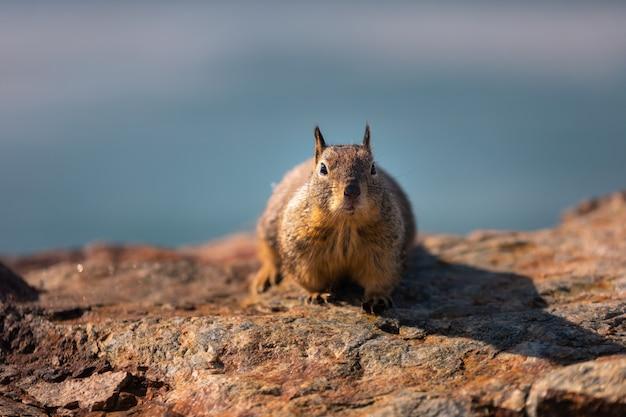Kleines eichhörnchen in der küste von kalifornien