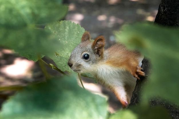 Kleines eichhörnchen versteckt sich in einem baum zwischen den blättern