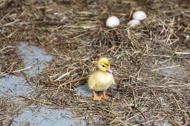Kleines entlein auf heu. trockenes gras. in einer unschärfe von mehreren eiern.