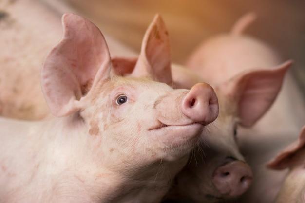 Kleines ferkel wartet auf futter. schwein innen auf einem bauernhof in thailand. schweine im stall. augen schließen und verwischen. porträt tier.
