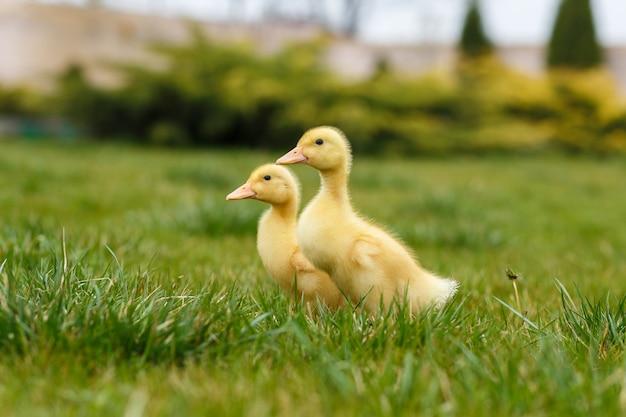 Kleines gelbes entlein zwei auf grünem gras.
