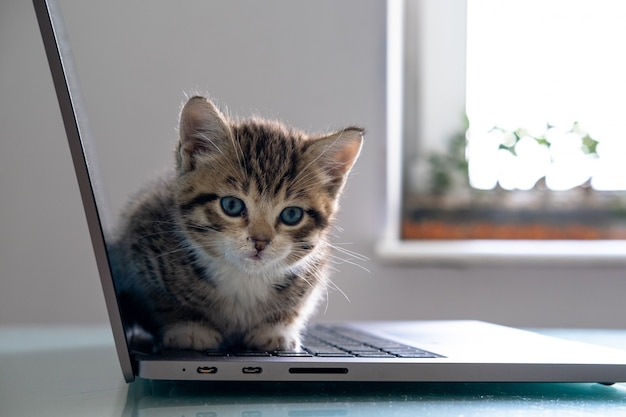 Kleines gestreiftes kätzchen, das auf laptop-tastatur sitzt und zu hause draufsicht schaut. copyspace. freiberufliche online-arbeit und ausbildung