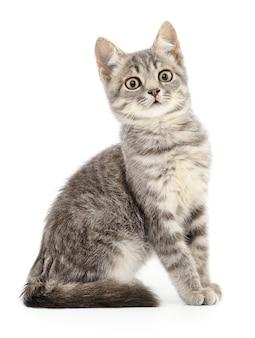 Kleines graues kätzchen auf einem weißen hintergrund