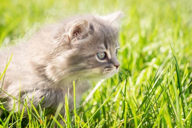 Kleines graues kätzchen auf hellem gras