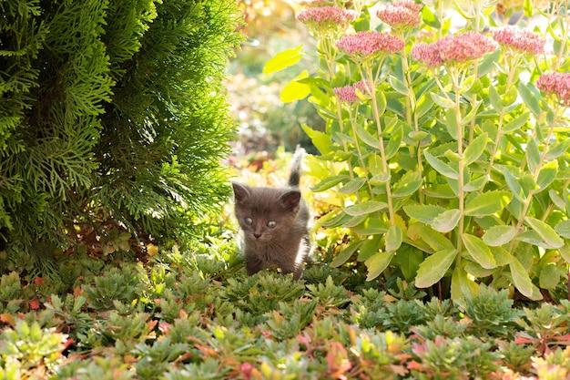 Kleines graues kätzchen im garten. katze und blumen stonecrop und thuja.