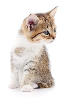 Kleines graues kätzchen isoliert