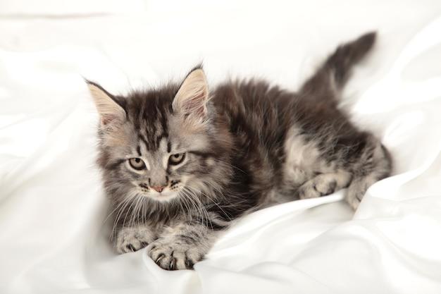 Kleines graues kätzchen liegt auf einem weißen hintergrund. graue maine coon