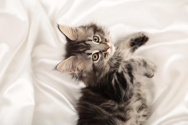 Kleines graues kätzchen liegt auf einem weißen hintergrund mit kopienraum. ansicht von oben.