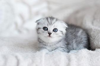 Kleines graues Kätzchen mit blauen Augen liegt auf der grauen Couch
