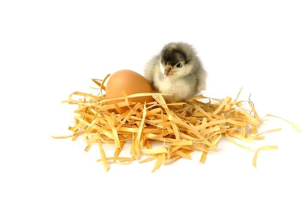 Kleines hühner- und hühnerei in einem nest, das auf weiß lokalisiert wird