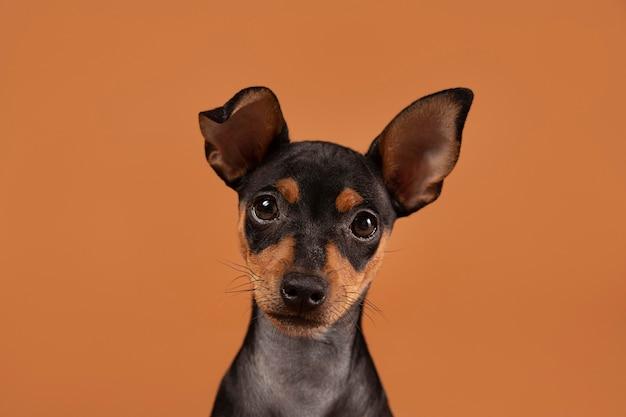Kleines hundeportrait in einem studio