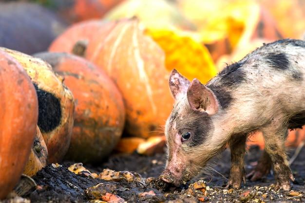 Kleines junges lustiges schmutziges rosa und schwarzes schweinferkel, das draußen auf sonnigen hof des stapels der großen kürbise einzieht. sauenbau, natürliche nahrungsproduktion.