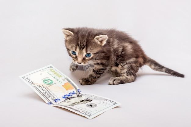 Kleines kätzchen in der nähe eines geldes. kätzchen spielt mit dollars. das erste gehalt